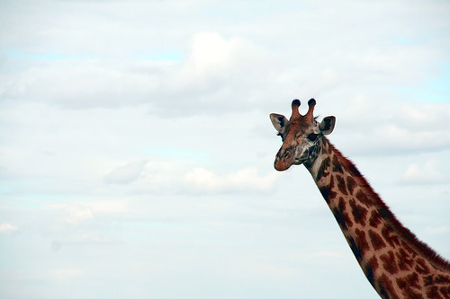 giraffeflickrdocnic.jpg