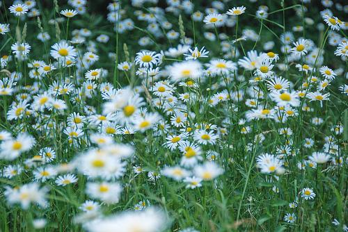 daisiesflickrjoesflickr.jpg